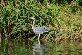 Дикая цапля в сквере им. Гектора Берлиоза в Баден-Бадене / A Grey heron in the Hector Berlioz Park in Baden-Baden / © A.Savin CC BY-SA 4.0, FAL
