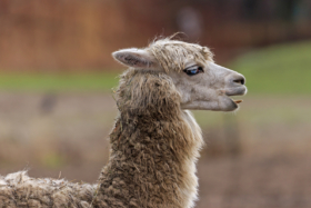 Альпака в зоопарке Фридрихсфельде в Берлине / An Alpaca in the Berlin Tierpark / © A.Savin CC BY-SA 4.0, FAL