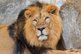 Азиатский лев в зоопарке Фридрихсфельде в Берлине / An Indian lion in the Berlin Tierpark / © A.Savin CC BY-SA 4.0, FAL