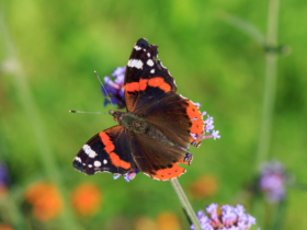 Бабочка Адмирал в садах Марцан-Хеллерсдорф, Берлин / Berlin-Marzahn Gardens of the World: a Red Admiral / © A.Savin CC BY-SA 4.0, FAL