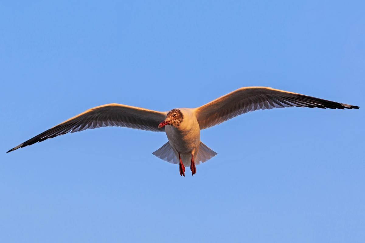 Буроголовая чайка, штат Махараштра, Индия / Brown-headed gull, Maharashtra, India.